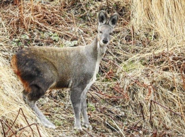 Good News: Himalayan musk deer seen in Uttarakhand (Video)