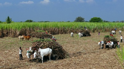 Modi Cabinet approves FRP of Rs 290 per quintal for sugarcane farmers